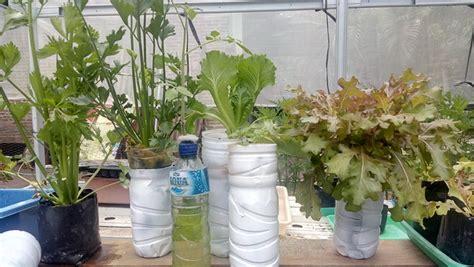 membuat hidroponik botol cara mudah menanam hidroponik seledri di botol bekas step