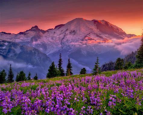 Flower Mountain sunset mountain flowers rainier national park washington