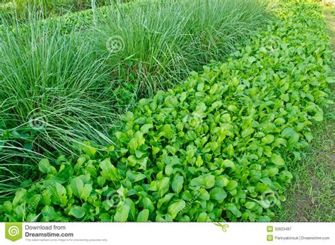 Chinese Kale And Vetiver Grass In Field. Royalty Free
