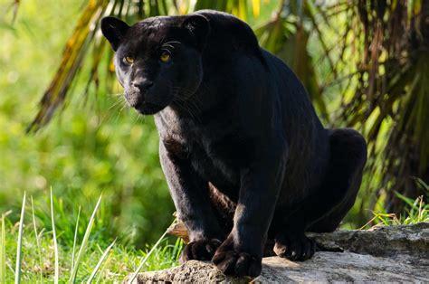 black panther jungle cat black jaguar animal wallpaper hd
