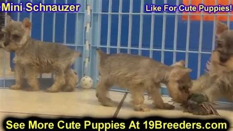 puppies for sale in bowling green ky miniature schnauzer puppies dogs for sale in louisville kentucky ky 19breeders