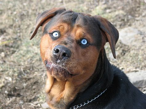 pitbulls and rottweilers mixed the world s catalog of ideas