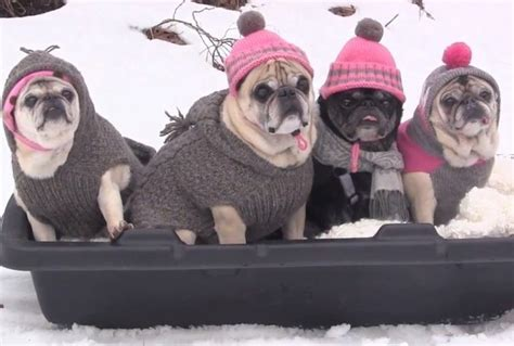pugs in season end of season treat see pugs sledding in tiny hats and sweaters beasts livingly