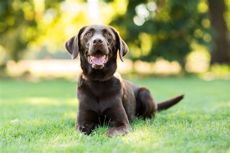 what does chocolate do to dogs why dogs eat and how to stop stool