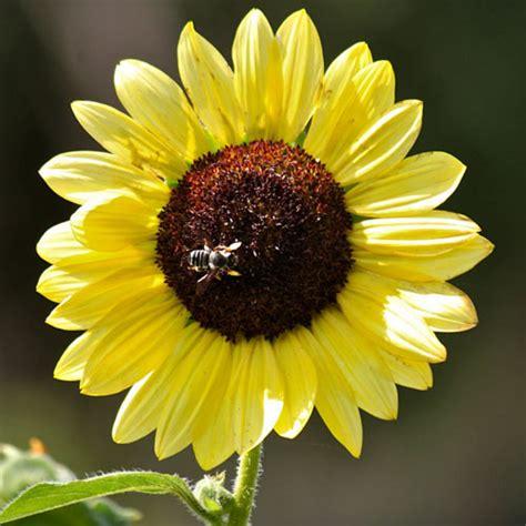 Biji Bunga Matahari Per Kg sunflower lemon 10 biji bijibunga