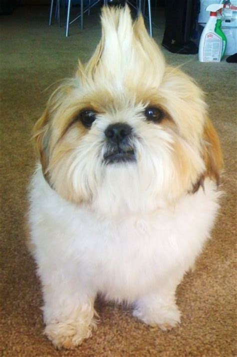 shih tzu mohawk hello giggles pets of the week