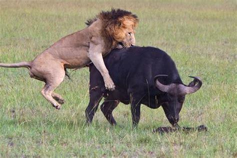 imagenes leones cazando oh dios 3 0 viendo el discurso y coronaci 243 n del rey