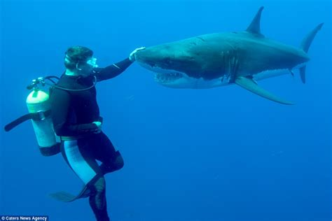 great white shark dive diver fearlessly pats nose of a great white shark daily