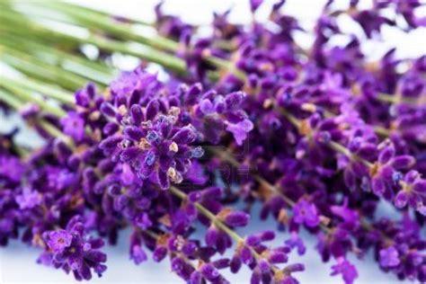 Raflesia Lavender blossoms lavender