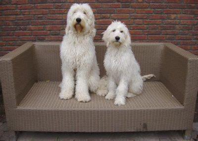 goldendoodle puppy kopen goldendoodle fokker brabant dierenpension quot de goordonken quot