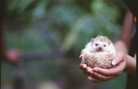 House Painting Colors How To Keep African Pygmy Hedgehogs As Pets