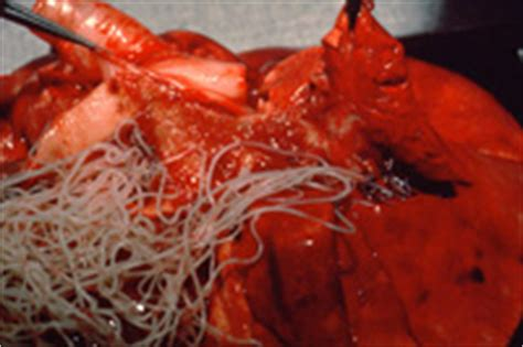 what causes heartworms in dogs worms in dogs and cats your own vet