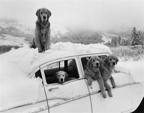 bruce weber golden retrievers snow families roads trips puppies dogs vintage cars cars snow bunnies