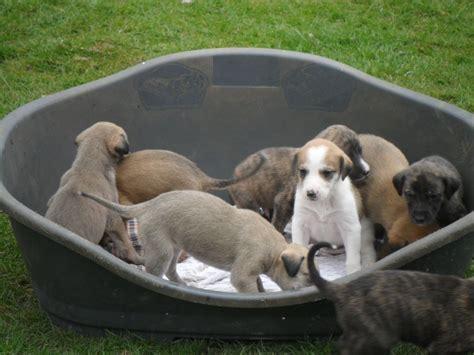 lurcher puppies lurcher breed info temperament puppies care pictures