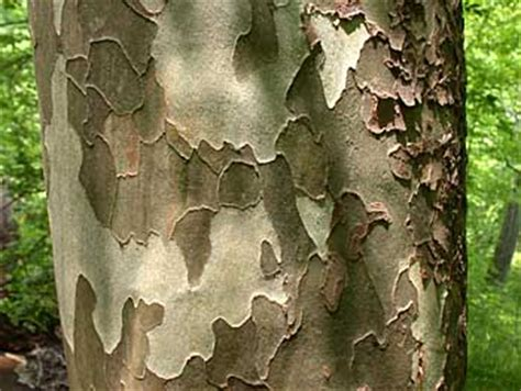Why Do Sycamore Trees Shed Their Bark by Dragonation At Daily Kos