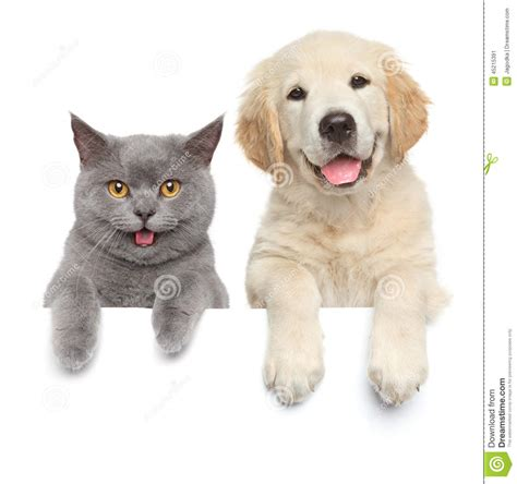 cat and show cat and white banner stock photo image 45215391