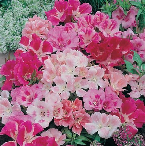 Benih Bunga Godetia Biji Bunga Godetia Azalea Bunga Cantik benih godetia mixed 100 biji non retail