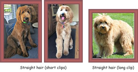 goldendoodle puppy coat types goldendoodle coat types and textures