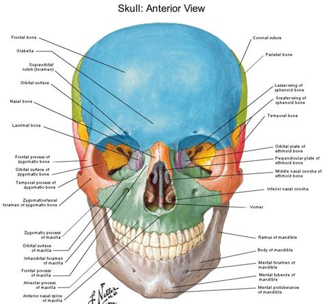 skull diagram labeled dentistry lectures for mfds mjdf nbde ore diagrams of