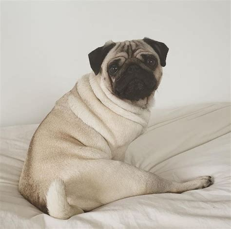 morning pug 207 best images about loulou co on blinded by the light mondays and pug