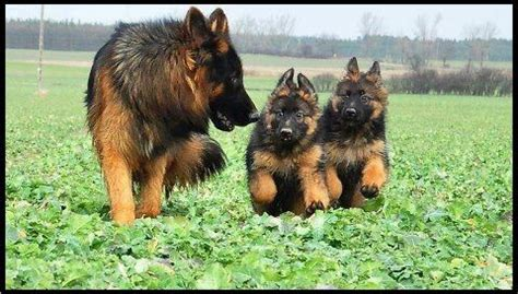 german shepherd puppies minnesota minnesota k 9 solutions home protectionyou can play withminnesota canine solutions