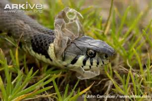 grass snake photo natrix natrix a19771 arkive