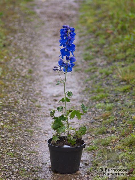 delphinium blue bird  burncoose nurseries
