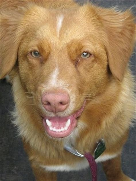 golden retriever rescue ns how do i stop my whining for attention scotia