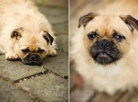 pug photography pug melbourne pet photography
