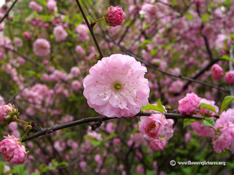 flowering almond picture