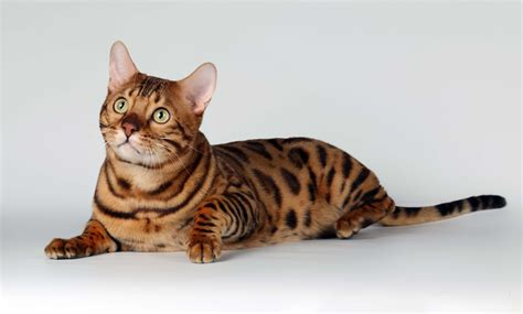 wallpaper bengal cat exotic spotted and marbles bengal cats hd photos