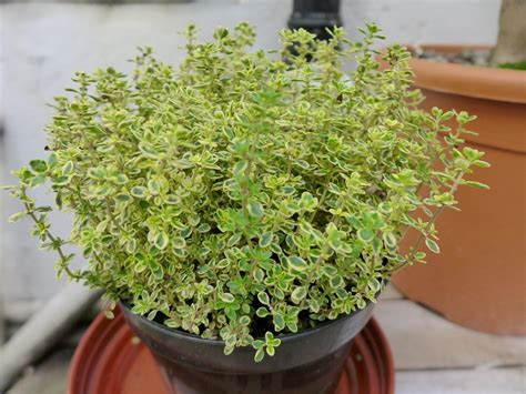 Garden Thyme by Hdb Gardening Guide Plants To Grow Indoors And Outdoors
