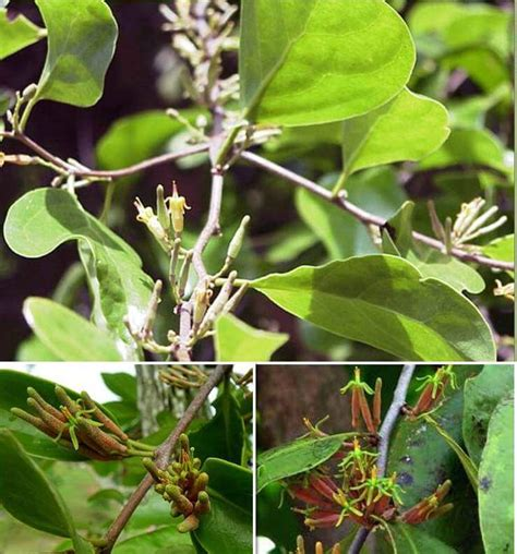 khasiat dan manfaat tanaman benalu teh