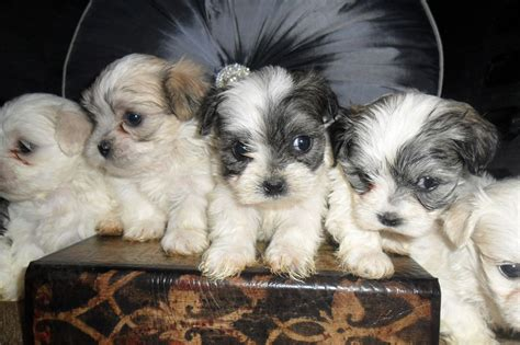 shih tzu x maltese puppies for sale nsw stunning shih tzu x maltese puppies stoke on trent staffordshire pets4homes