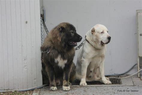 kaukasian dog with short hair kangal central asian ovcharka or caucasian ovcharka