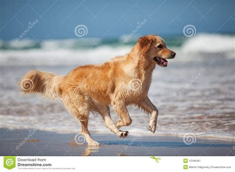 golden retriever running golden retriever running on the stock image image of retriever water