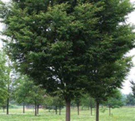 Green Vase Zelkova Problems by Green Vase Zelkova Tree Trees