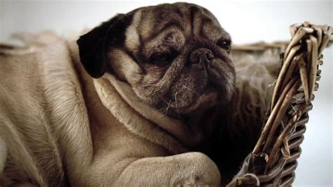 pug lover this pug documentary is a must for all pug