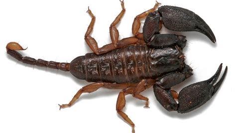 scorpione in casa scorpioni australiani tanti ma innocui portale australia
