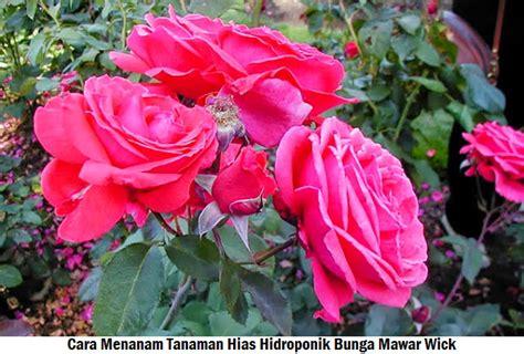 menanam mawar hidroponik hidroponik
