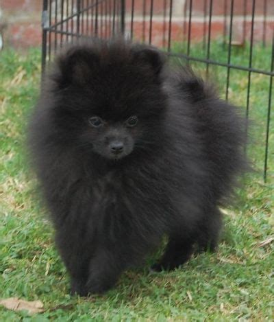 all black pomeranian puppies 25 best ideas about black pomeranian on baby bears bears and what