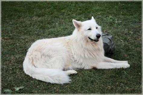 white swiss shepherd puppies white swiss shepherd breed profile