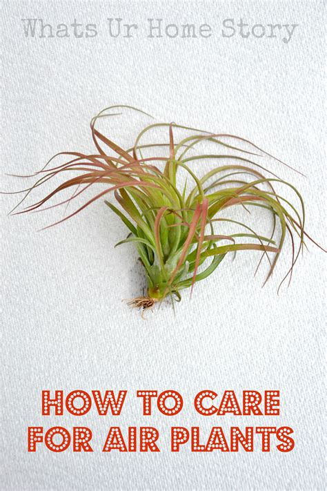 how to care for air plants whats ur home story