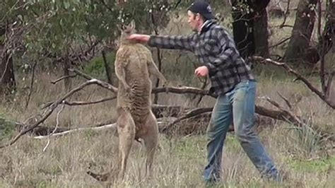 punches kangaroo to save punches kangaroo in a standoff to save his ntd tv