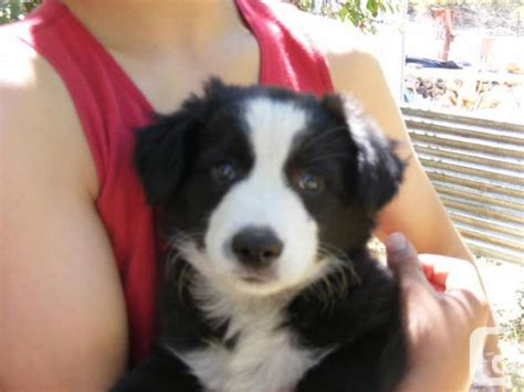 border collie mix puppies for sale in pa border collie mix puppies for sale in pa car interior design