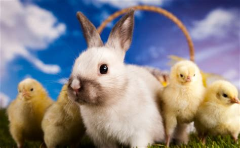 cute rabbits and chicks happy easter animal ark