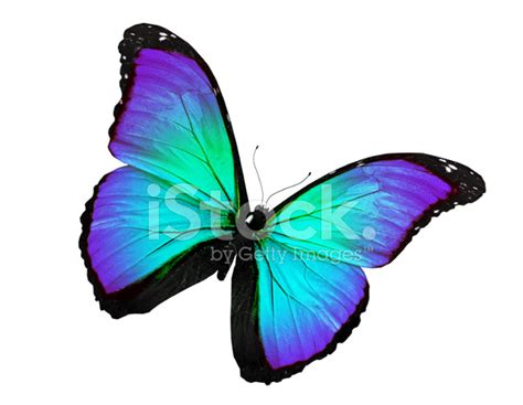 Gamis Buterfly Premium White Pasmina turquoise butterfly flying isolated on white stock photos freeimages