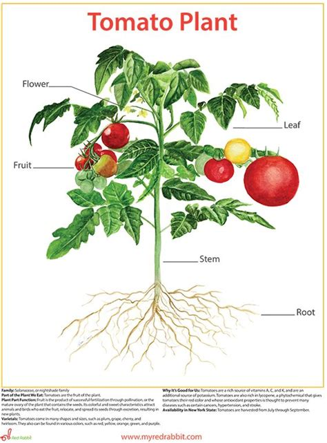 tomato flower diagram artwork by alison croney this one of a depiction of