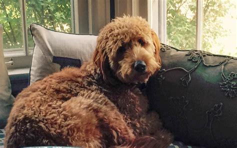 do golden retrievers bark much golden retriever dogs breeds picture