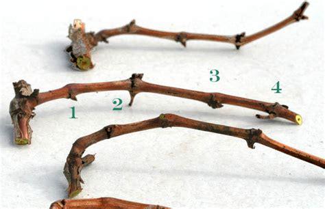 Comment Tailler Une Treille by Un Jardin Habit 233 Bouturage De La Vigne